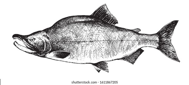 Salmon, fish collection. Healthy lifestyle, delicious food. Hand-drawn images, black and white graphics.