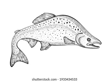 Salmon fish vector. Pink salmon sketch illustration. Trout seafood. Hand drawn vintage doodle icon. Sea food, black and white ink logo. Drawing art in vintage style