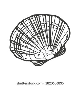 Saltwater scallop seashell, clam, conch. Sketch style vector illustration isolated on white background. Black engraving vintage art
