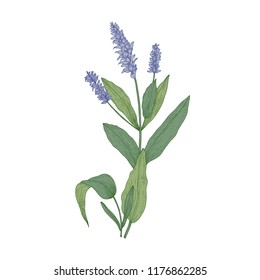 Salvia flowers or sage inflorescences isolated on white background. Gorgeous drawing of wild meadow flowering herb used in herbal medicine. Realistic hand drawn vector illustration in retro style.