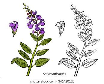 Salvia. Sage