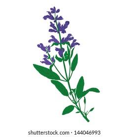 Salvia, Sage Vector