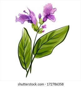 Salvia. Sage. Vector illustration. Meadow flower