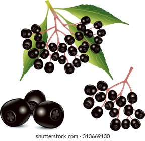 Sambucus nigra (Elder, Elderberry, Black Elder, European Elder, Black Elderberry)