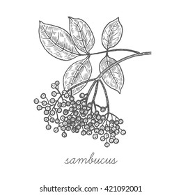 Sambucus tree. Vector plant isolated on white background. Designed to create package of health and beauty natural products. Black ink.