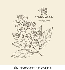 Sandalwood: leaves and flowers. Santal white. Perfumery,  cosmetics and medical plant. Vector hand drawn illustration
