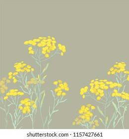 sandless immortelle. Helichrysum arenarium. Medicinal plant. Steppe grass.Botanical illustration. Yellow flowers