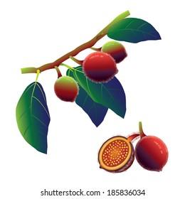 Sandpaper fig (Ficus coronata)