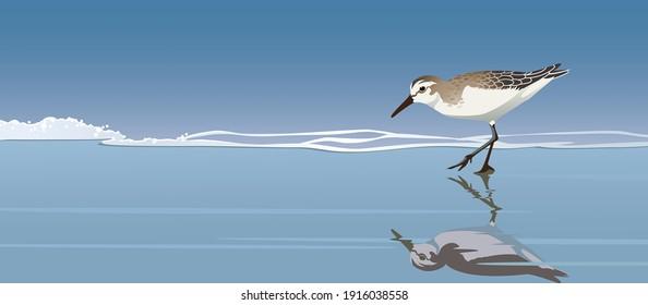 Sandpiper bird reflection in seaside water vector illustration