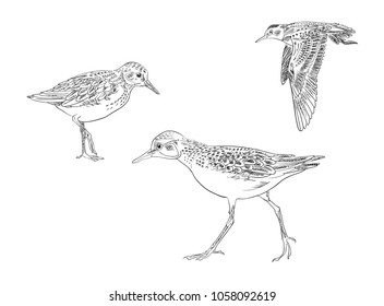 sandpiper black and white vector drawing