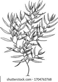 Sargassum, brown algae illustration, drawing, engraving, ink, line art, vector