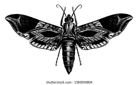Satellite Sphinx Moth is a large and handsome hawk moth whose larva feeds upon the vine, vintage line drawing or engraving illustration.