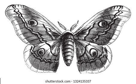 Saturnia Pavonia, female, vintage engraved illustration. From Zoology Elements from Paul Gervais.