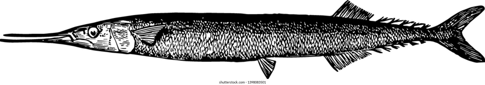Saury is a tropical fish known for jumping and skimming the water vintage line drawing or engraving illustration.