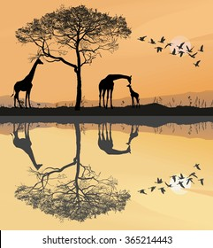 Savanna with giraffes