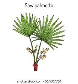 Saw Palmetto (Serenoa repens), medicinal tree. Hand drawn botanical vector illustration
