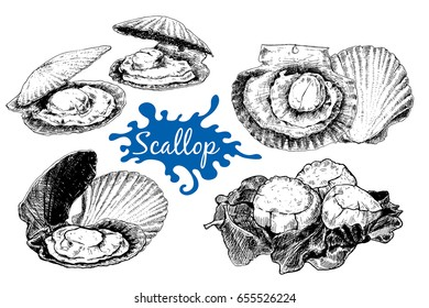Scallop sea shell, sketch style vector illustration isolated on white background. Realistic hand drawing of saltwater scallop seashell