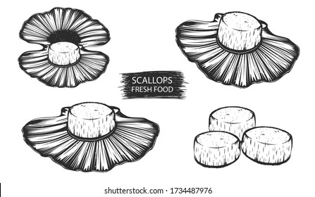 Scallops isolated vector illustration. Clams seafood background. Scallops with shells.