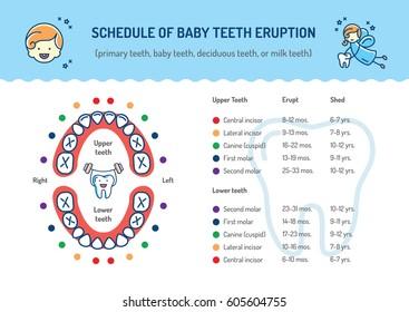 Schedule of Baby Teeth Eruption. Primary teeth, deciduous teeth. Children's dentistry infographics Dental care