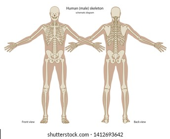 Schematic diagram of human skeleton with body silhouette. Front and back views. Vector illustration
