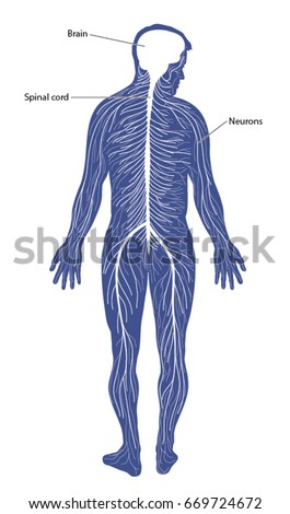 Schematic Diagram Nervous System Comprising Brain Stock Vector ...