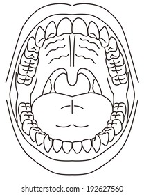Schematic diagram of the oral cavity