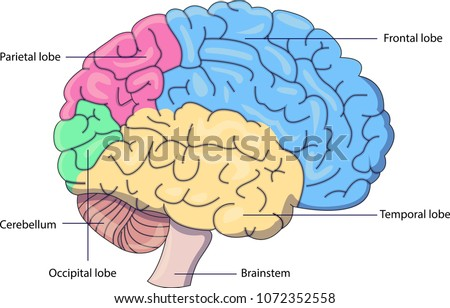 Schematic Vector Diagram Brain Labeled Parts Stock Vector Royalty