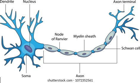 Schematic vector diagram of a neuron or nerve cell.