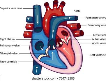 Schematic vector illustration of heart anatomy.