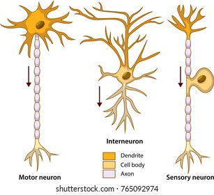Schematic vector illustration of three types of neurons or nerve cells.