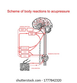 Scheme of body reactions to acupressure. Medical table. Vector graphics.