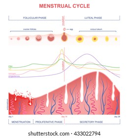 scheme of the menstrual cycle, level of hormones female period, changes in the endometrium