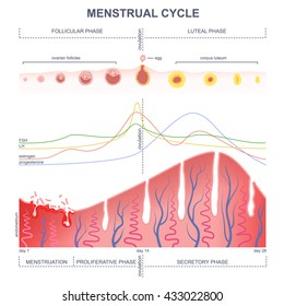 Menstrual cycle images stock photos vectors shutterstock scheme of the menstrual cycle level of hormones female period changes in the endometrium ccuart Gallery
