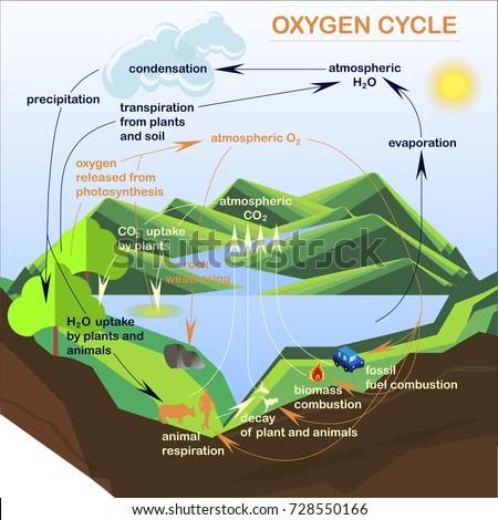 Scheme Oxygen Cycle Flats Design Stock Stock Vector Royalty Free