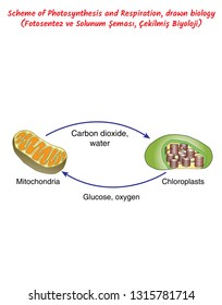 Scheme of Photosynthesis and Respiration, drawn biology