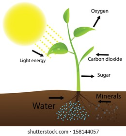 Photosynthesis diagram images stock photos vectors shutterstock scheme of photosynthesis vector illustration ccuart Gallery