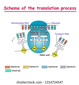 Scheme of the translation process. syntesis of mRNA from DNA in the nucleus. The mRNA decoding ribosome by binding of complementary tRNA anticodon sequences to mRNA codons.
