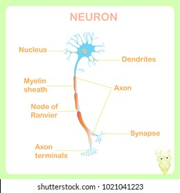 Anatomy typical human neuron structure neuron stock vector royalty scheme of typical anatomy neuron structure for school education stock vector illustration on white ccuart Gallery