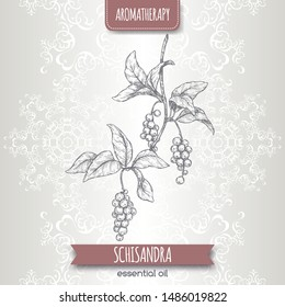 Schisandra aka Schisandra chinensis or magnolia vine sketch on elegant lace background. Great for traditional medicine, perfume design, cooking or gardening.