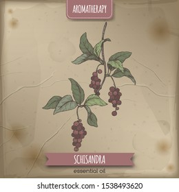 Schisandra aka Schisandra chinensis or magnolia vine color sketch on vintage background. Great for traditional medicine, perfume design, cooking or gardening.