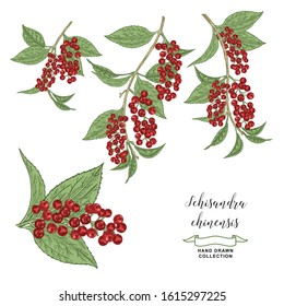 Schisandra chinensis, schisandra branches isolated on white background. Leaves and berries hand drawn. Colorful vector illustration. Detailed sketch style.