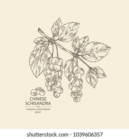 Schisandra chinensisi: schisandra branch with leaves and berries. Magnolia vine berries. Cosmetics and medical plant. Vector hand drawn illustration.