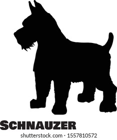 Schnauzer Dog Breed Silhouette On White Background Vector Illustration