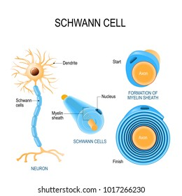 Schwann cells. Structure of neurolemmocytes. Anatomy of a typical human neuron