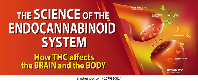 the science of the endocannabinoid system how THC affects the brain and the body