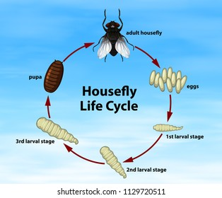 Science Housefly Life Cycle illustration