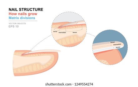 Science of human body. Anatomical training poster. Fingernail Anatomy. Structure of human nail. How nails grow. Matrix divisions. Cross-section of the finger. Detailed medical vector illustration