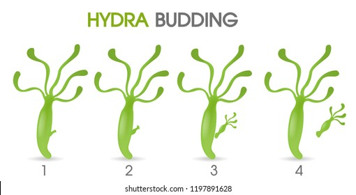 Science of Hydra Budding. Illustration Vector EPS10 on white background.
