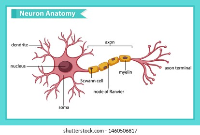 Scientific medical illustration of anatomy of nerve cell illustration