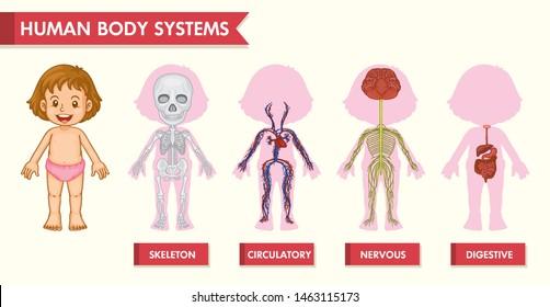 Scientific medical illustration of girl human systems illustration